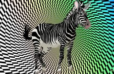 Black white zebra wallpaper