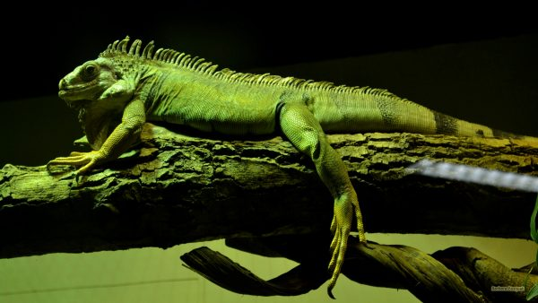 Big green lizard wallpaper