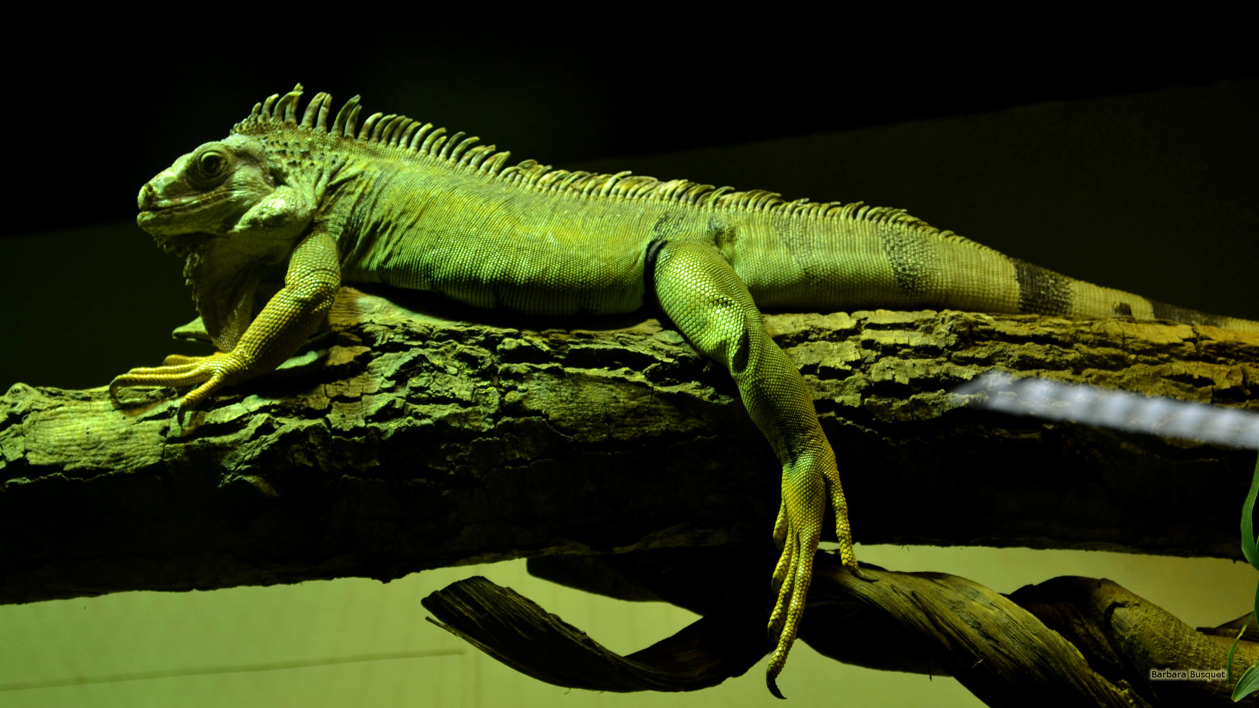 Chinese water dragon Barbaras HD Wallpapers