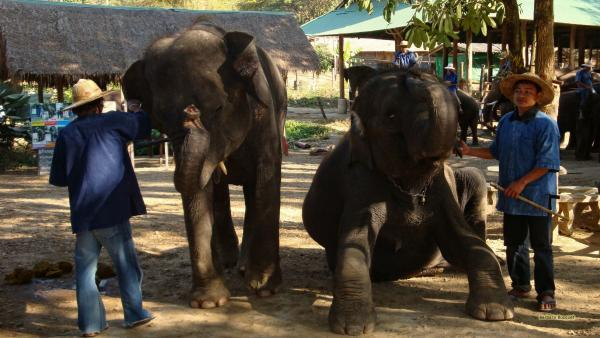 Elephants in Thailand on market