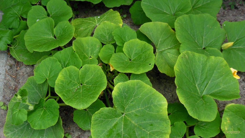 HD wallpaper pumpkin plants