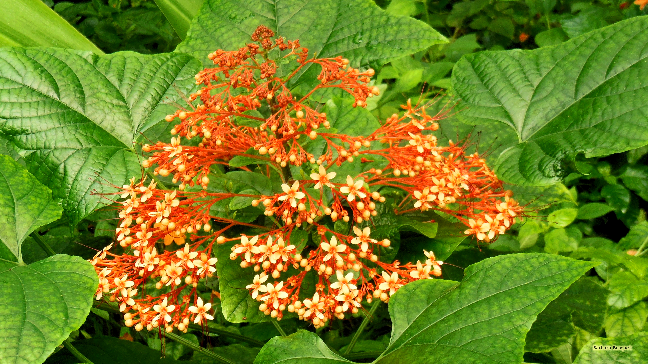 Small Orange Flowers And Big Leaves Barbaras Hd Wallpapers