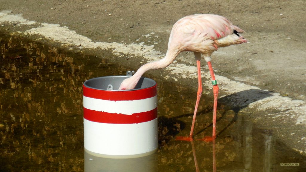 HD wallpaper Lesser flamingo eating