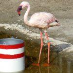 Lesser flamingo wallpapers