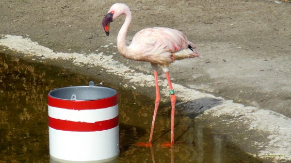 HD wallpaper Lesser flamingo in the water