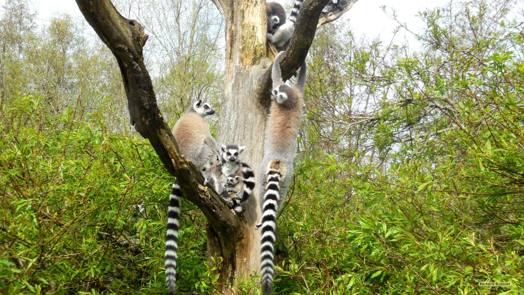 Ring-tailed lemurs family in tree