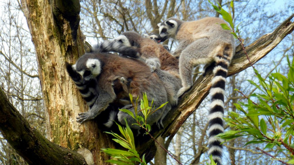 HD wallpaper ring-tailed lemur family in tree