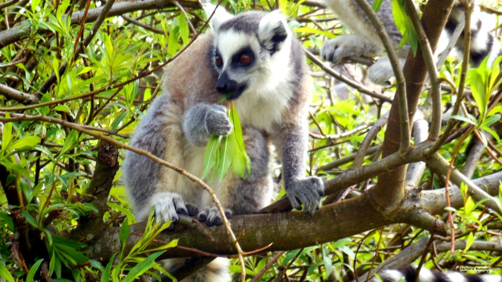 HD wallpaper ring-tailed lemur in tree