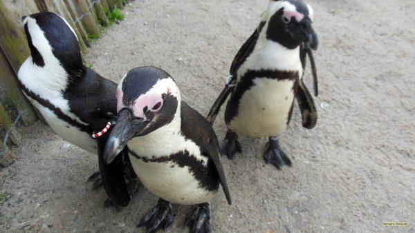HD wallpaper jackass penguins