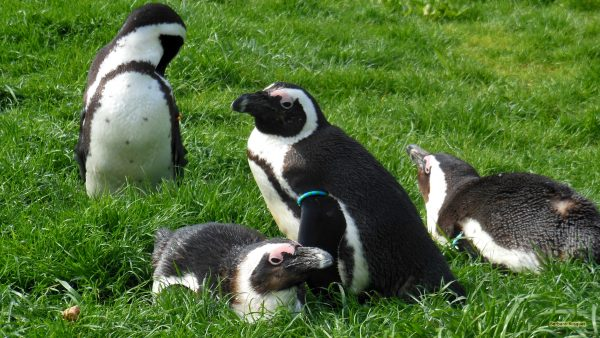 HD wallpaper jackass penguins in grass