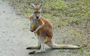 Red kangaroo on the road.