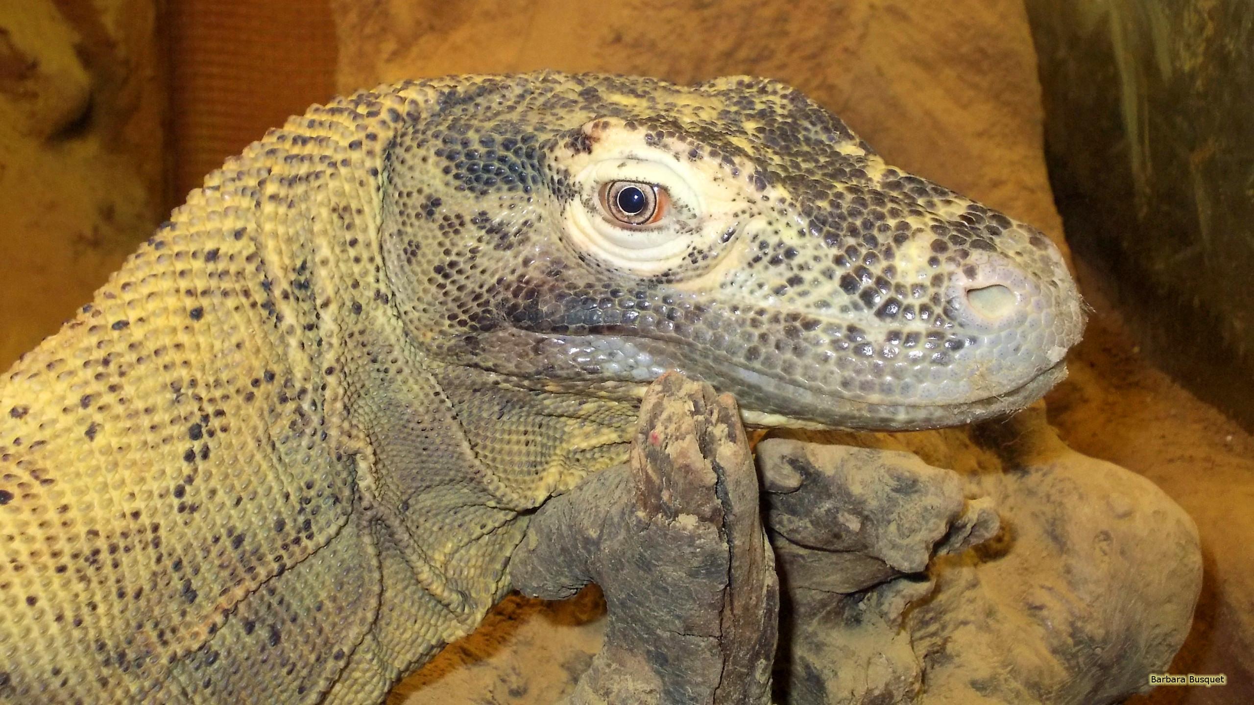 Komodo dragon Wallpaper