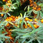 HD wallpaper orange berries