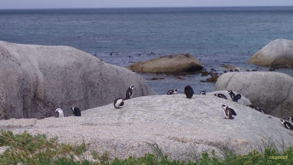 African penguins on Bouldes Beach.