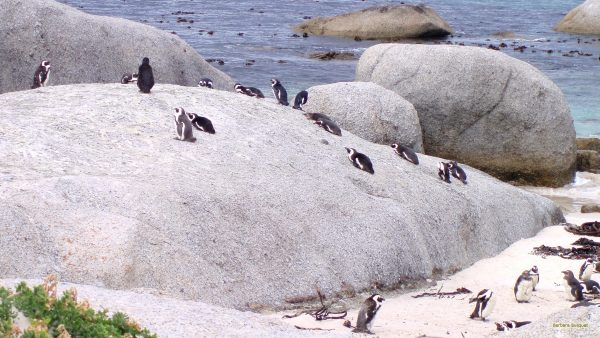 Rocks with penguins on Boulders Bay