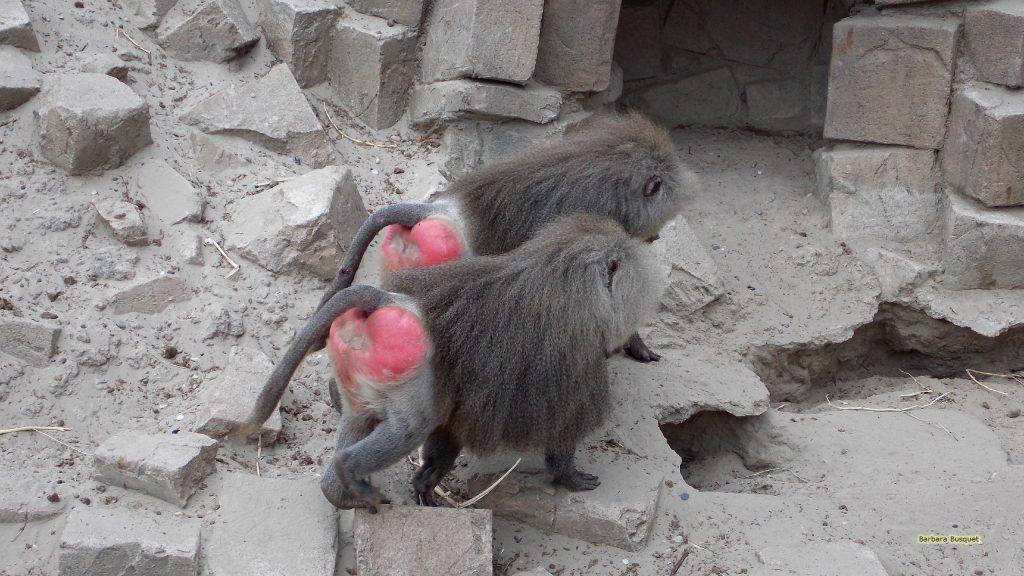 Animal wallpaper two baboons going home