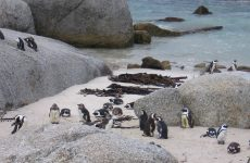 African penguins Boulders Beach