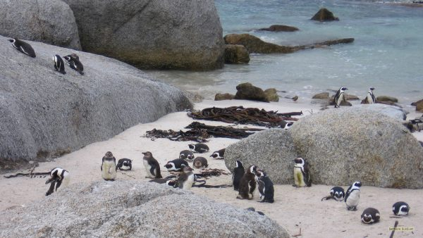 Black-footed penguins on Boulders Beach.