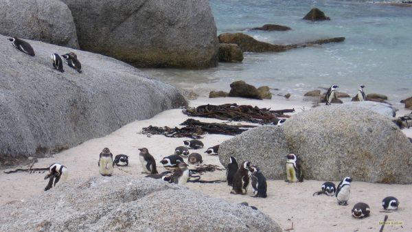 Black-footed penguins on Boulders Beach.