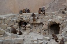 Hamadryas baboons on rock