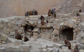 Desktop wallpaper baboons on rock