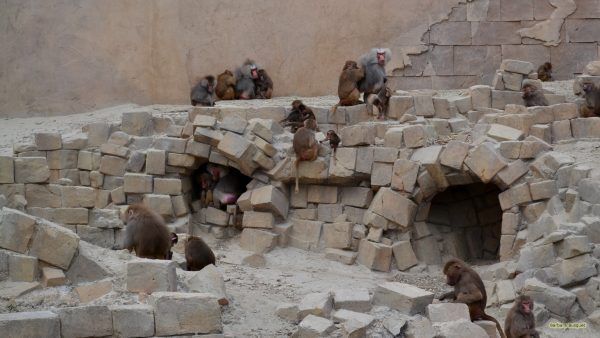 Desktop wallpaper baboons on rock