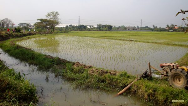 Rice fields Thailand