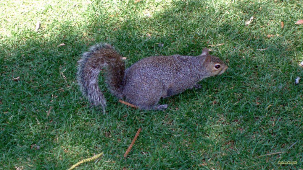 Squirrel in park