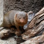 Common dwarf mongoose wallpaper