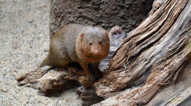 Dwarf mongoose in zoo