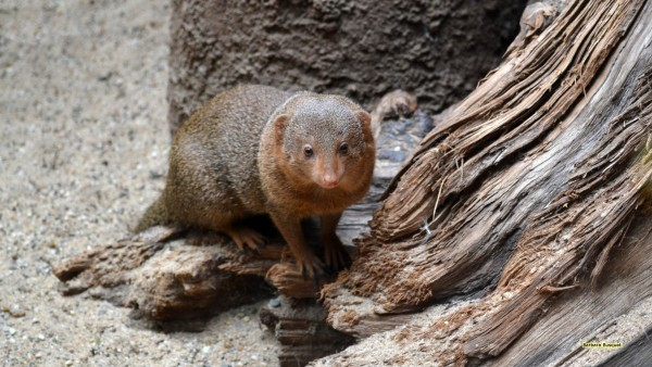 Dwarf mongoose in zoo