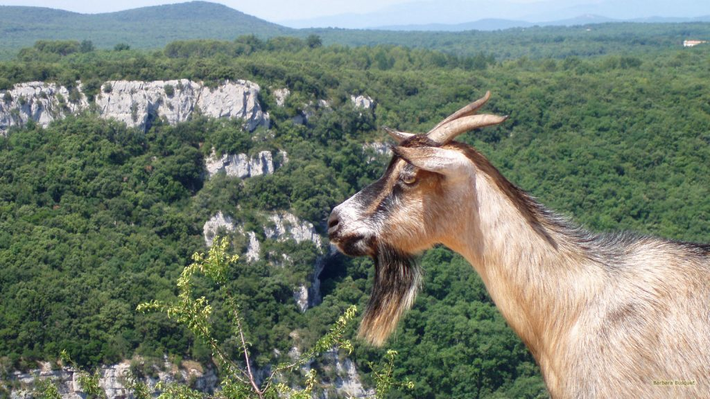 Goat in mountains