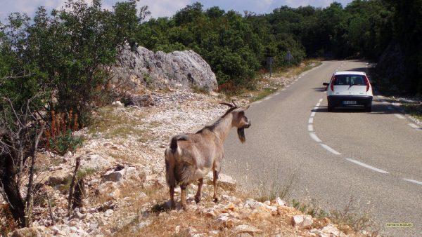 Goat near road.