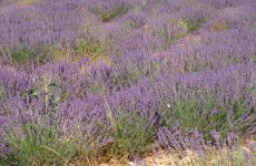 Purple heath field