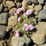 HD wallpaper lava chunks and pink flowers