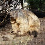 Marmot in zoo