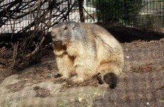 HD wallpaper marmot in zoo