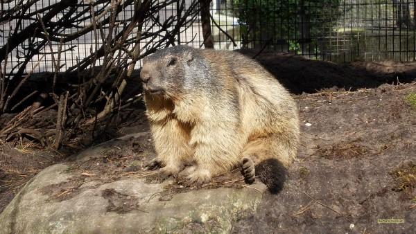 HD wallpaper marmot in zoo