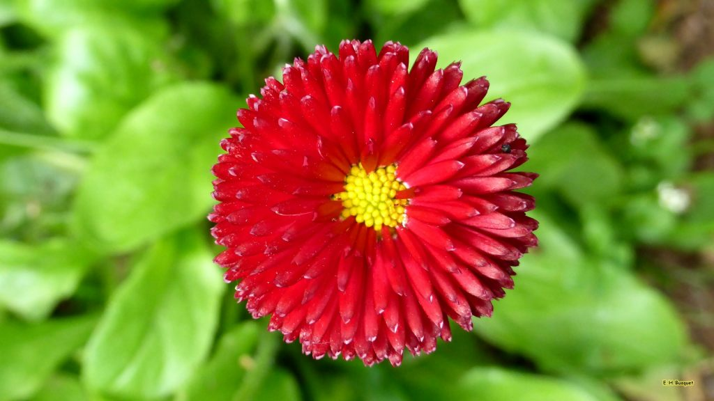 HD wallpaper red Aster
