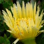 Yellow protea flower wallpaper