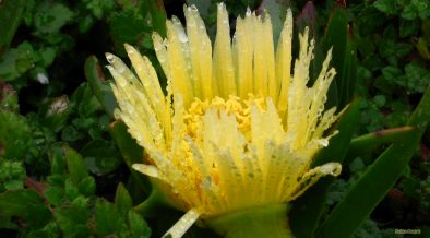 Wallpaper yellow Protea flower