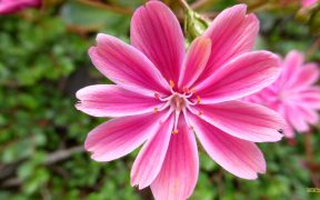 Pink flower with stamens and pestle