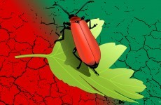 Red green beetle wallpaper