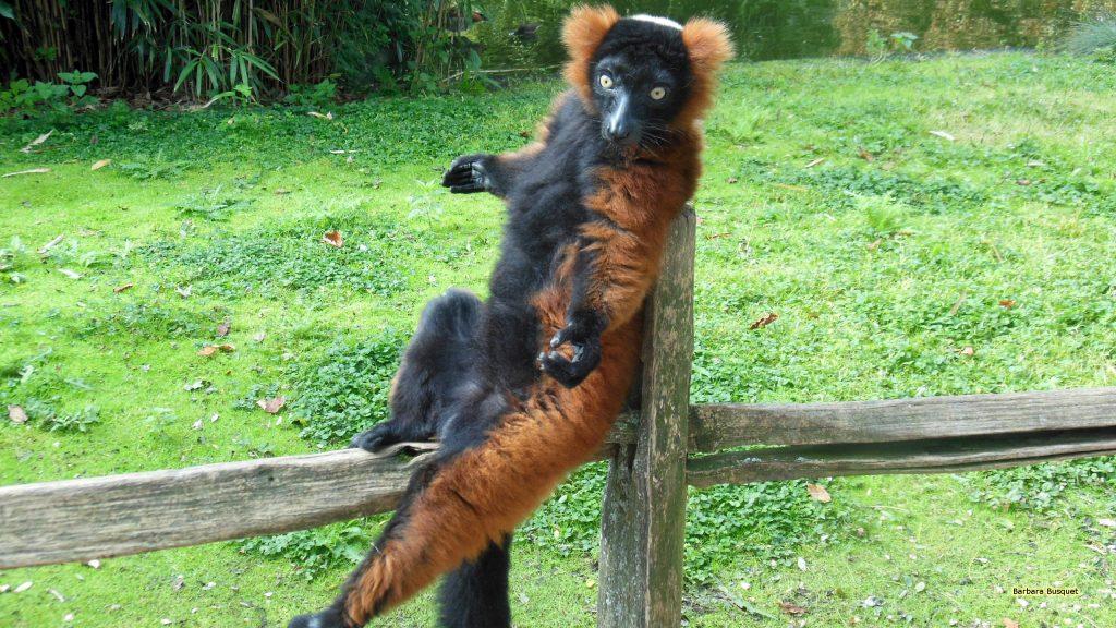 Ruffed lemur on a fence