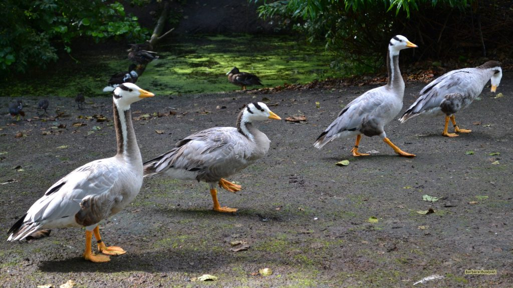 Photo with four bar-headed geese