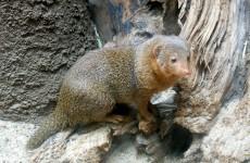 Common dwarf mongoose wallpaper
