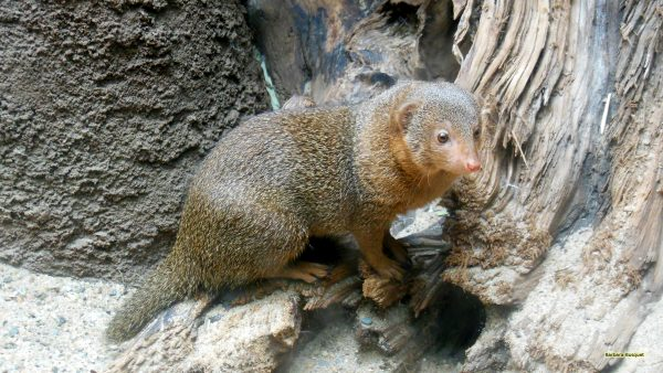 HD wallpaper dwarf mongoose