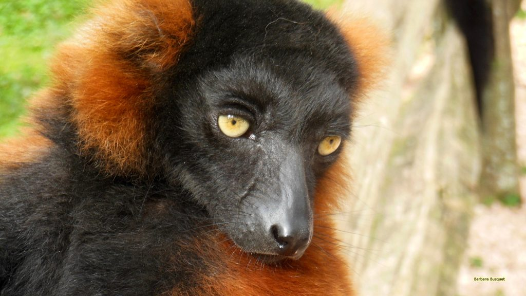 Close-up photo of the face of a red ruffed lemur.