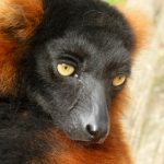Red ruffed lemur wallpapers