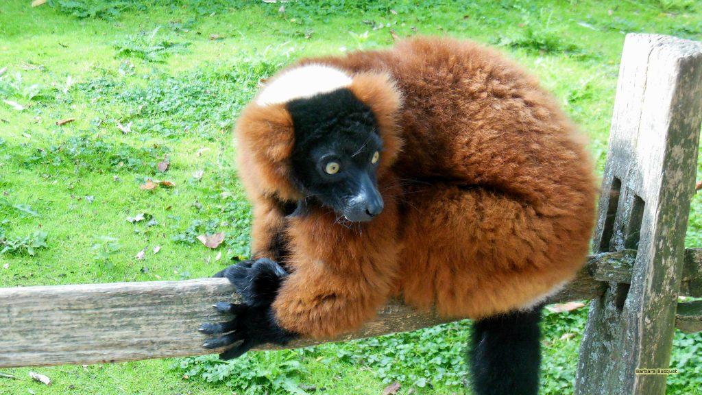 HD wallpaper red ruffed lemur on fence